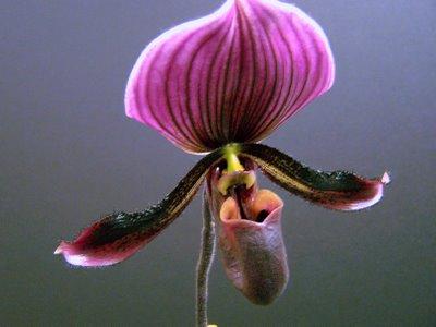 Ladyslipper.orchid