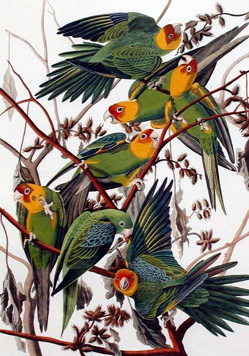 Audubon-carolina-parakeet