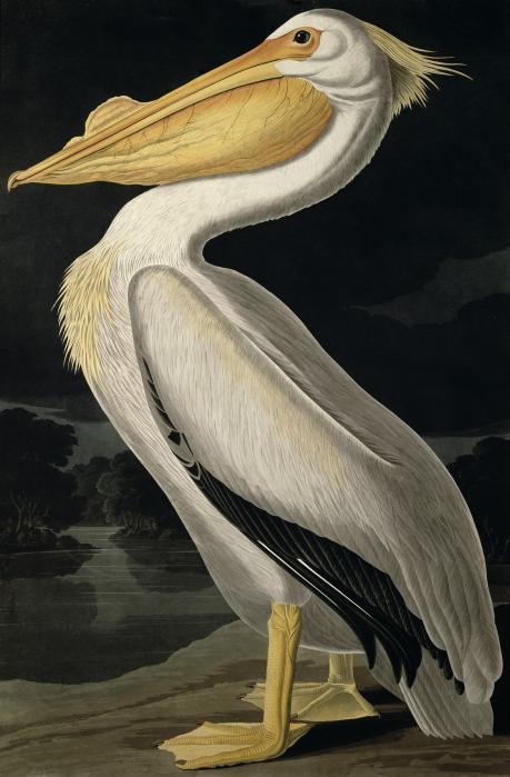 Audubon-pelican
