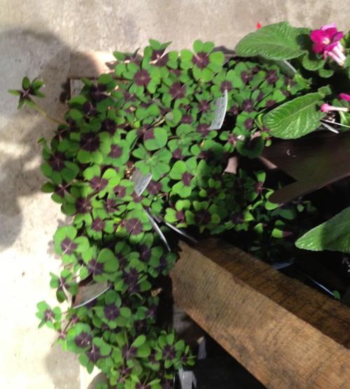 Phila-flower-show-4-leaf-clovers