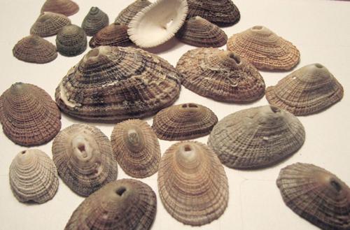Keyhole_limpet_shells