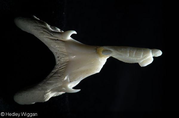 Hedley Wiggan - shark tooth sculpture
